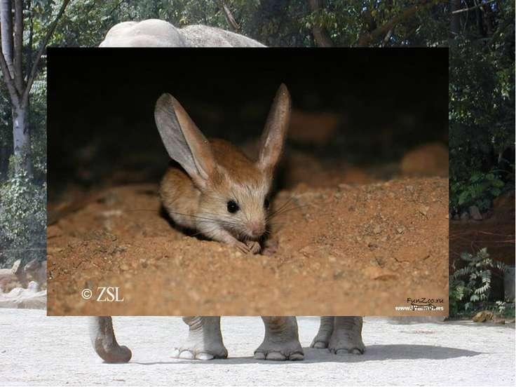 Какое животное имеет самые большие уши? Самые большие уши на Земле у африканс...