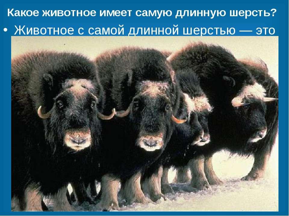 Какое животное имеет самую длинную шерсть? Животное с самой длинной шерстью —...