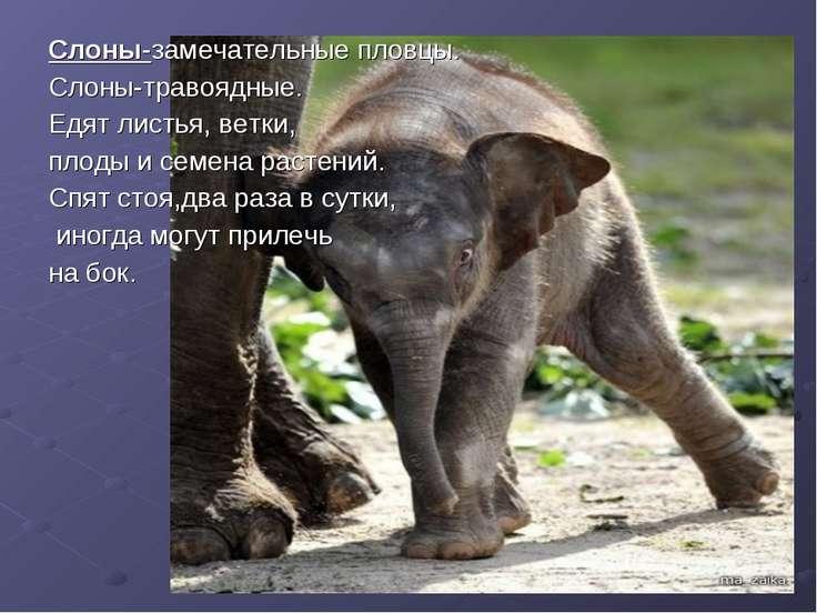 Слоны-замечательные пловцы. Слоны-травоядные. Едят листья, ветки, плоды и сем...