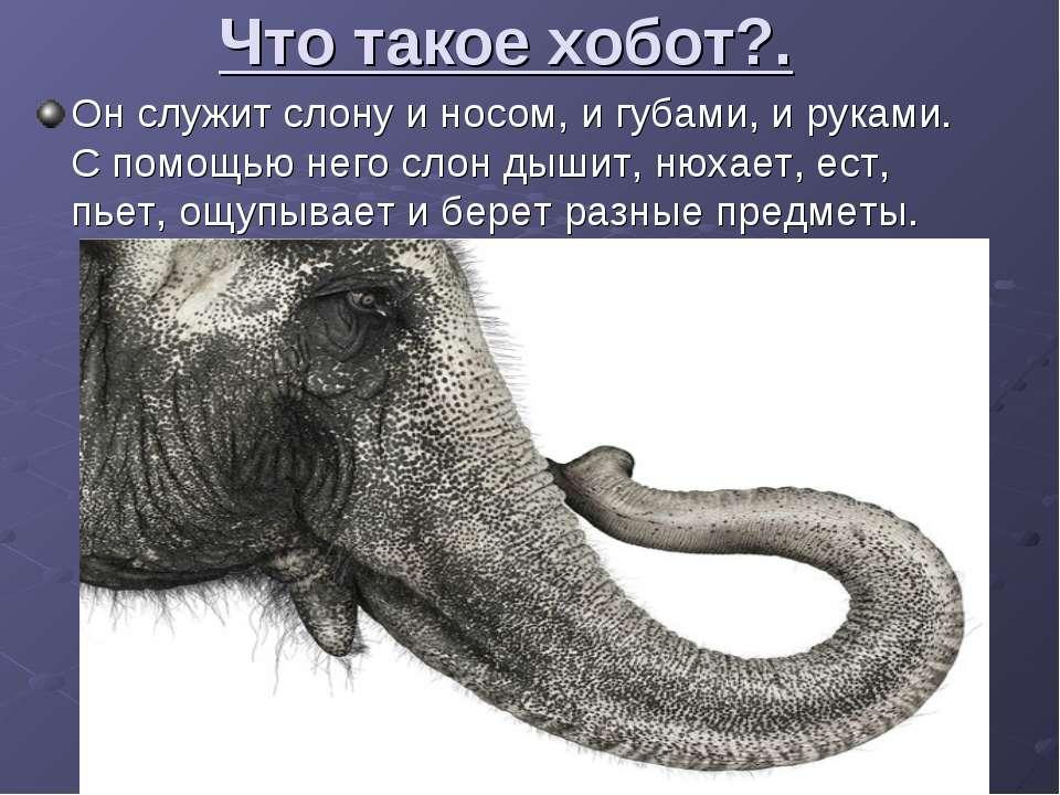 Что такое хобот?. Он служит слону и носом, и губами, и руками. С помощью него...