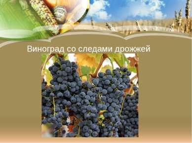 Виноград со следами дрожжей