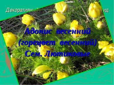 Декоративный корневищный гемиэфемероид с яркими жёлтыми цветками Крупные жёлт...