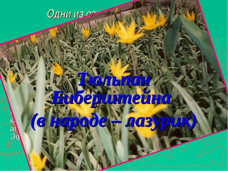 Одни из самых декоративных весенних растений Отличается от обычного степного ...