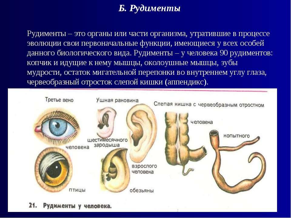 Б. Рудименты Рудименты – это органы или части организма, утратившие в процесс...