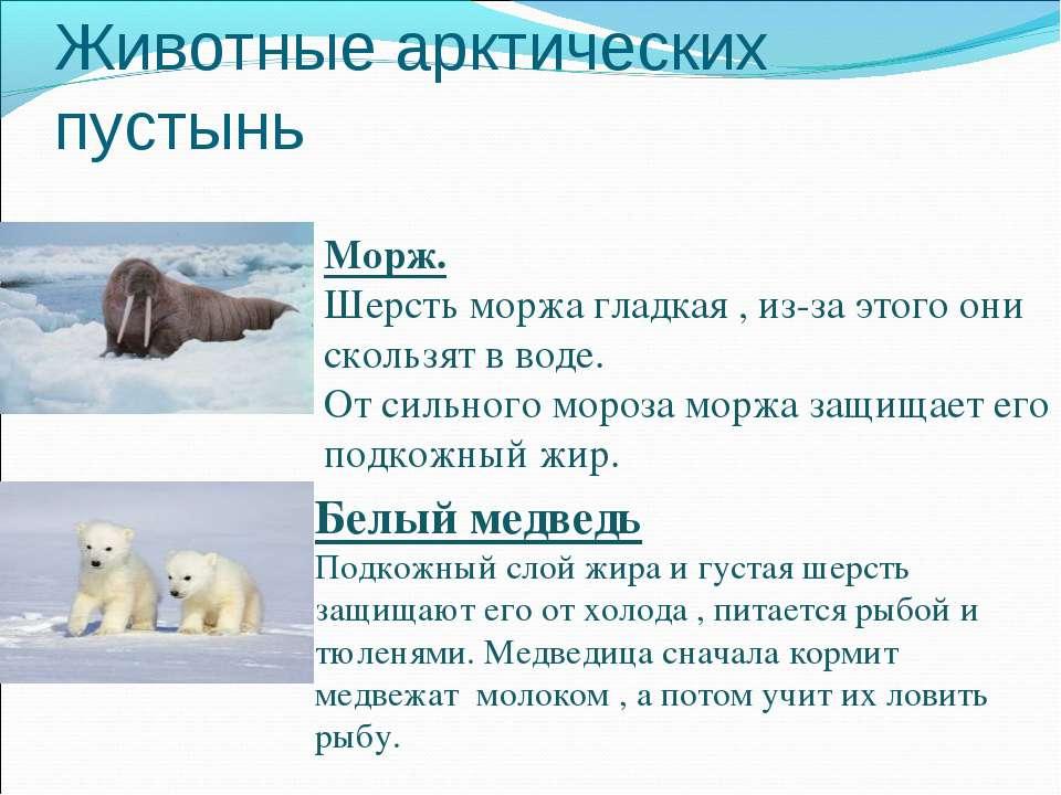 Животные арктических пустынь Морж. Шерсть моржа гладкая , из-за этого они ско...