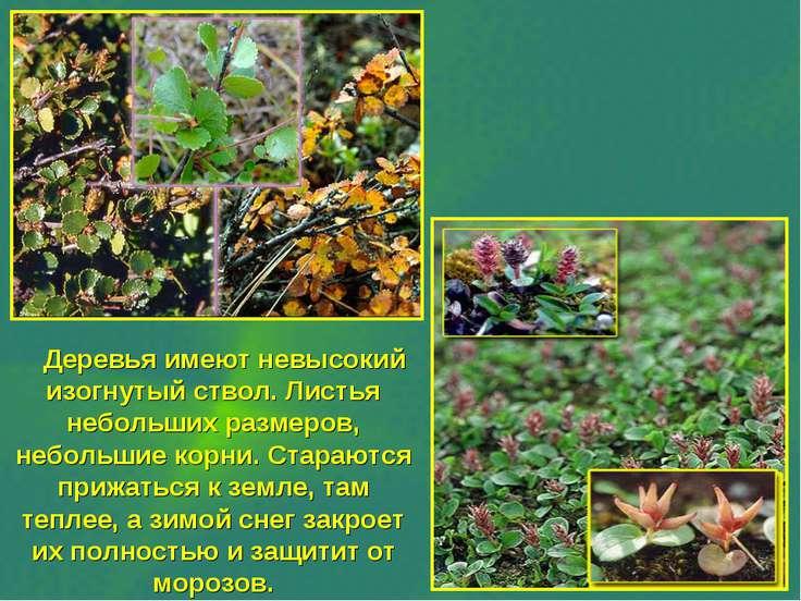 Деревья имеют невысокий изогнутый ствол. Листья небольших размеров, небольшие...