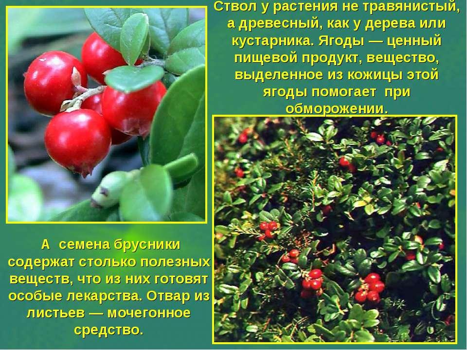 Ствол у растения не травянистый, а древесный, как у дерева или кустарника. Яг...
