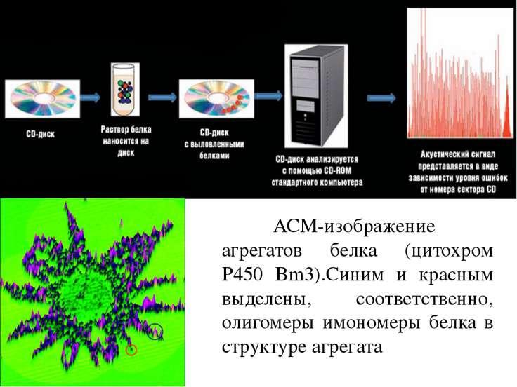 АСМ-изображение агрегатов белка (цитохром P450 Bm3).Синим и красным выделены,...