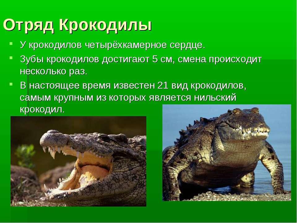 Отряд Крокодилы У крокодилов четырёхкамерное сердце. Зубы крокодилов достигаю...