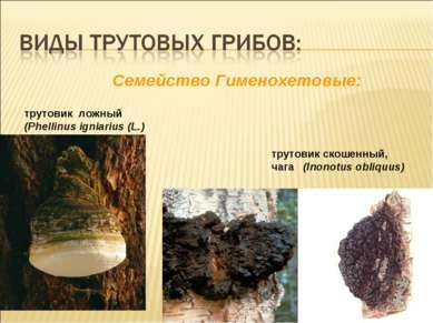 Cемейство Гименохетовые: трутовик ложный (Phellinus igniarius (L.) трутовик с...