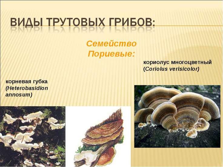 корневая губка (Heterobasidion annosum) Cемейство Пориевые: кориолус многоцве...