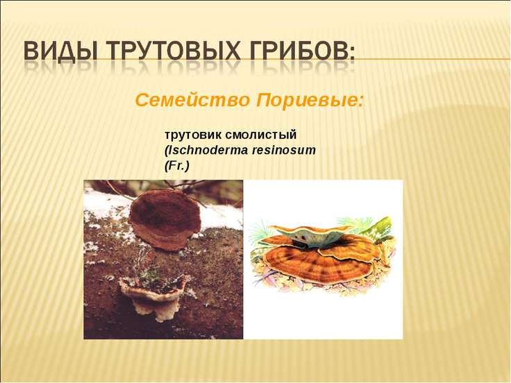 Cемейство Пориевые: трутовик смолистый (Ischnoderma resinosum (Fr.)