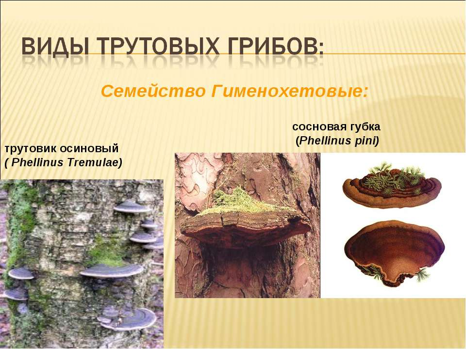 Cемейство Гименохетовые: трутовик осиновый ( Phellinus Tremulae) сосновая губ...