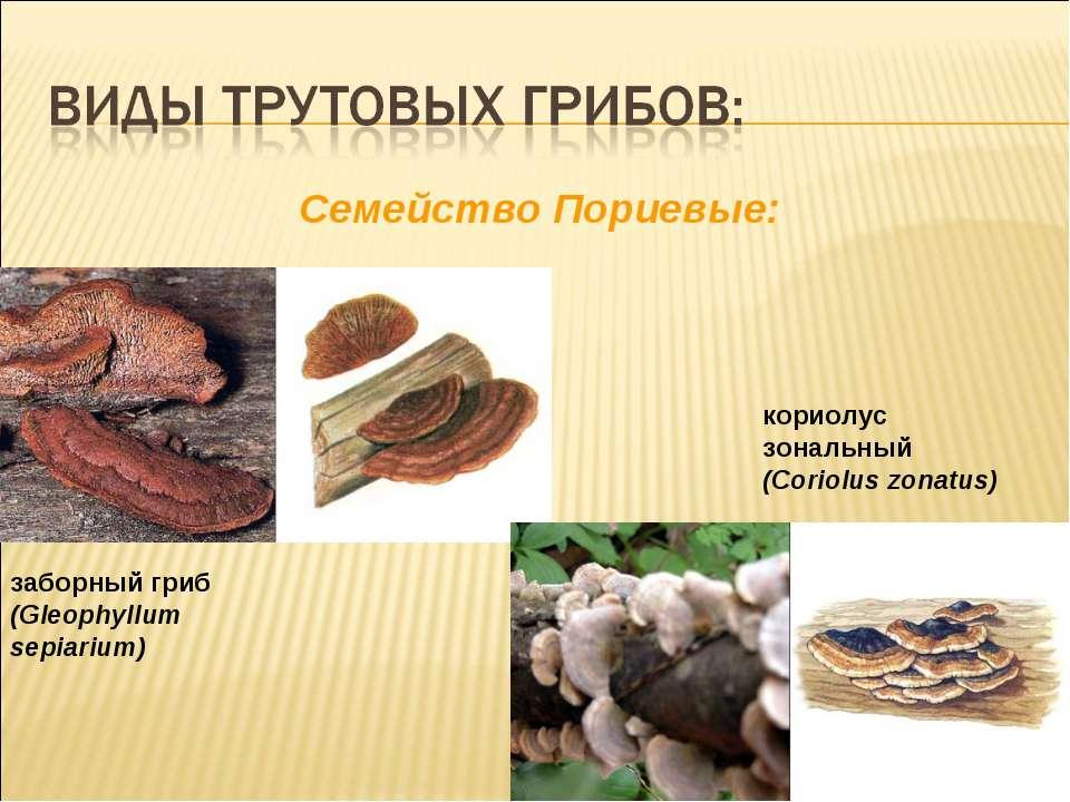 Cемейство Пориевые: кориолус зональный (Coriolus zonatus) заборный гриб (Gleo...