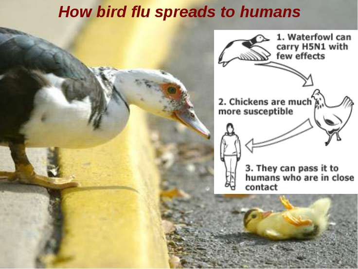 How bird flu spreads to humans