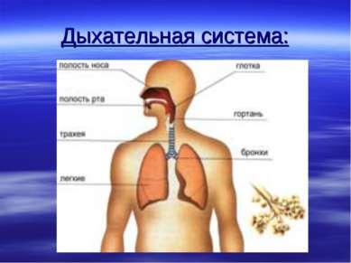 Дыхательная система:
