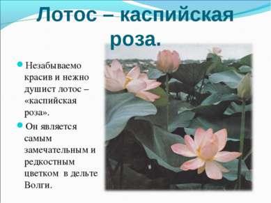 Лотос – каспийская роза. Незабываемо красив и нежно душист лотос – «каспийска...