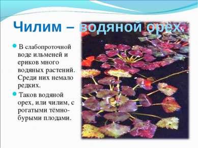 Чилим – водяной орех. В слабопроточной воде ильменей и ериков много водяных р...