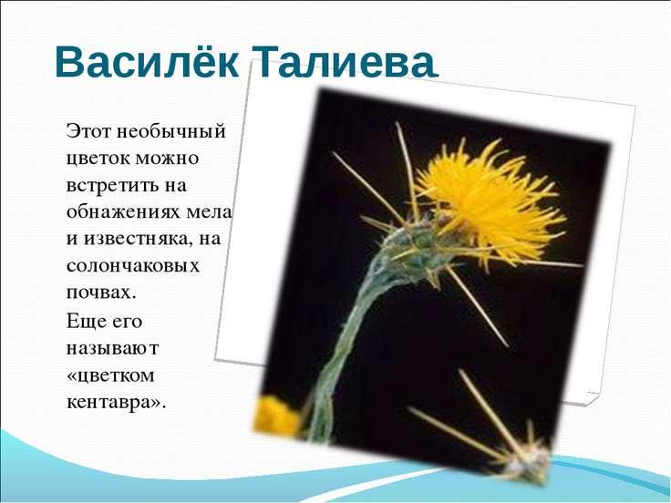 Василёк Талиева. Этот необычный цветок можно встретить на обнажениях мела и и...