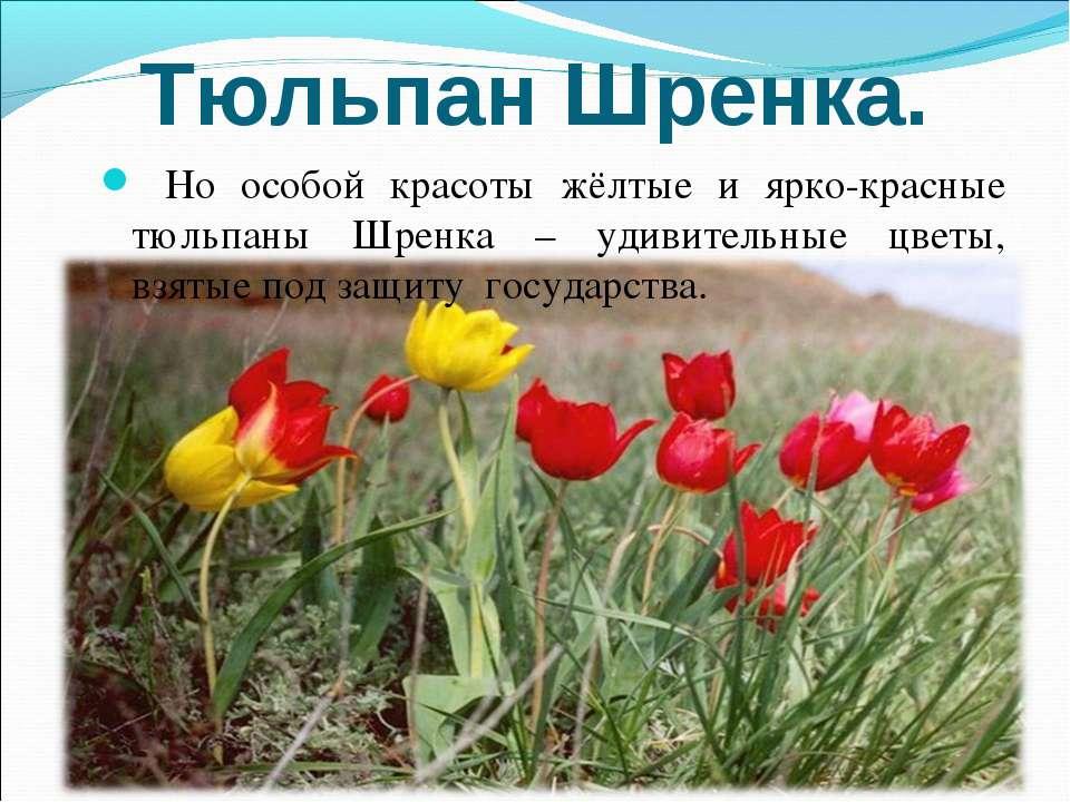 Тюльпан Шренка. Но особой красоты жёлтые и ярко-красные тюльпаны Шренка – уди...