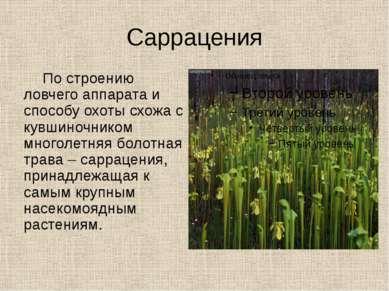 Саррацения По строению ловчего аппарата и способу охоты схожа с кувшиночником...