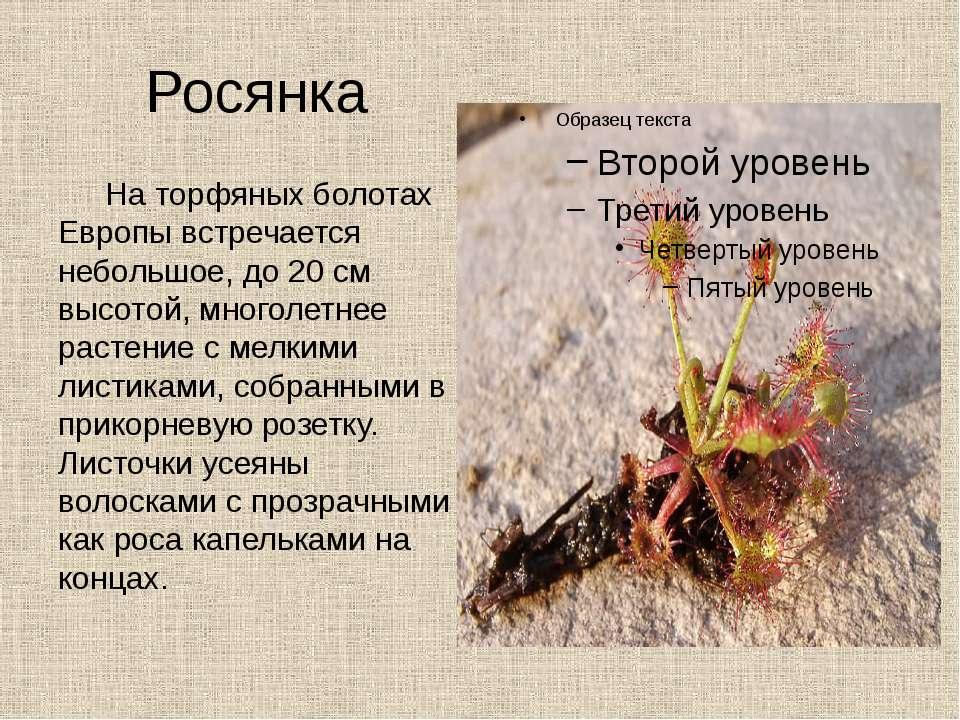 Росянка На торфяных болотах Европы встречается небольшое, до 20 см высотой, м...