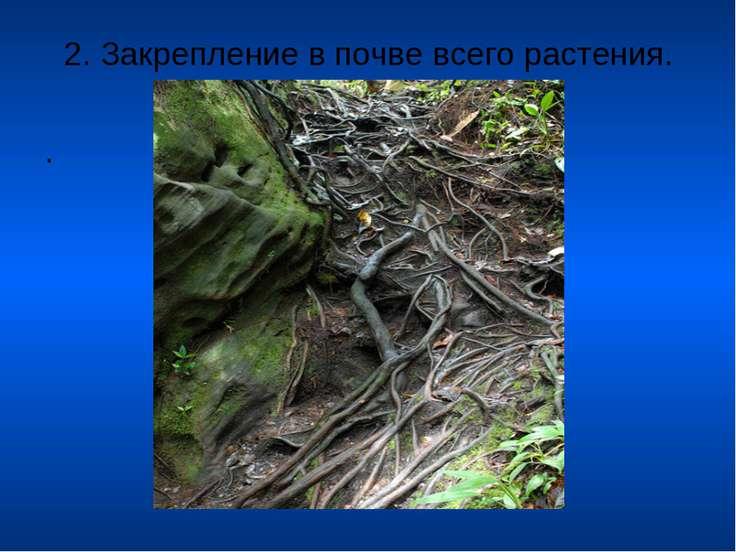 . 2. Закрепление в почве всего растения.