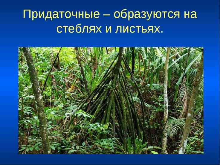 Придаточные – образуются на стеблях и листьях.