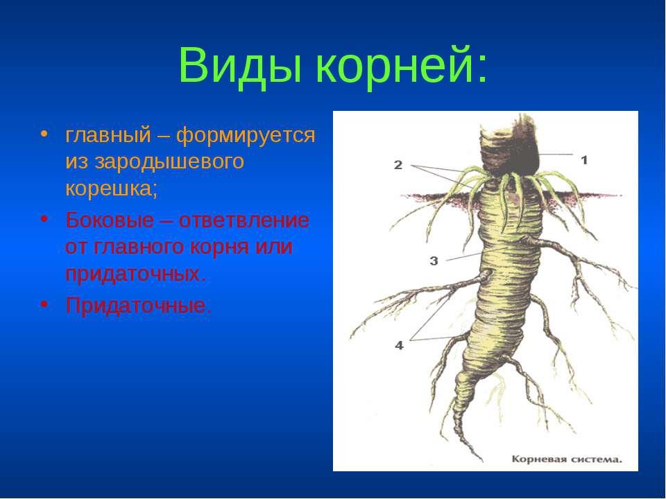 Виды корней: главный – формируется из зародышевого корешка; Боковые – ответвл...