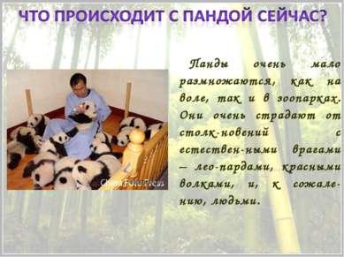 Панды очень мало размножаются, как на воле, так и в зоопарках. Они очень стра...