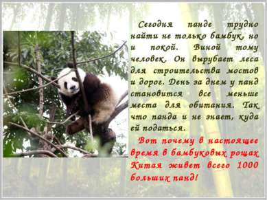 Сегодня панде трудно найти не только бамбук, но и покой. Виной тому человек. ...