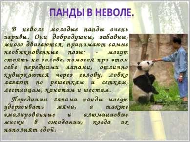 В неволе молодые панды очень игривы. Они добродушны, забавны, много двигаются...