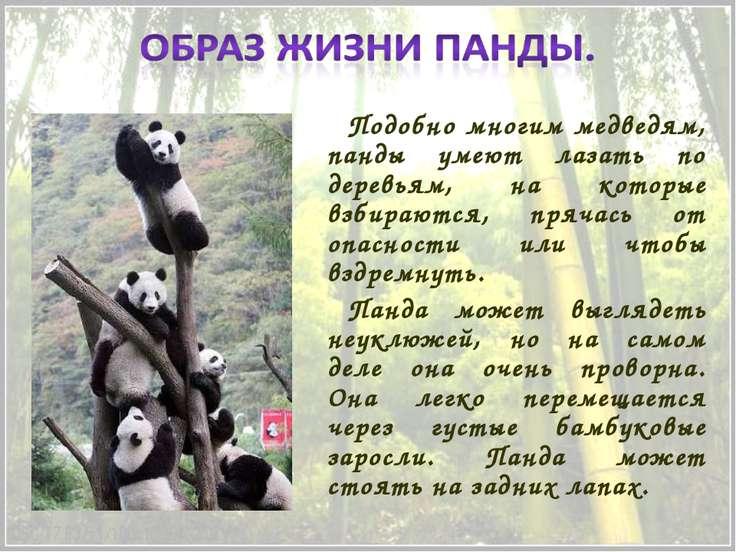 Подобно многим медведям, панды умеют лазать по деревьям, на которые взбираютс...