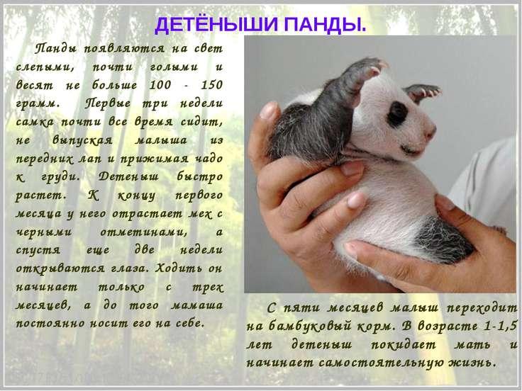 Панды появляются на свет слепыми, почти голыми и весят не больше 100 - 150 гр...