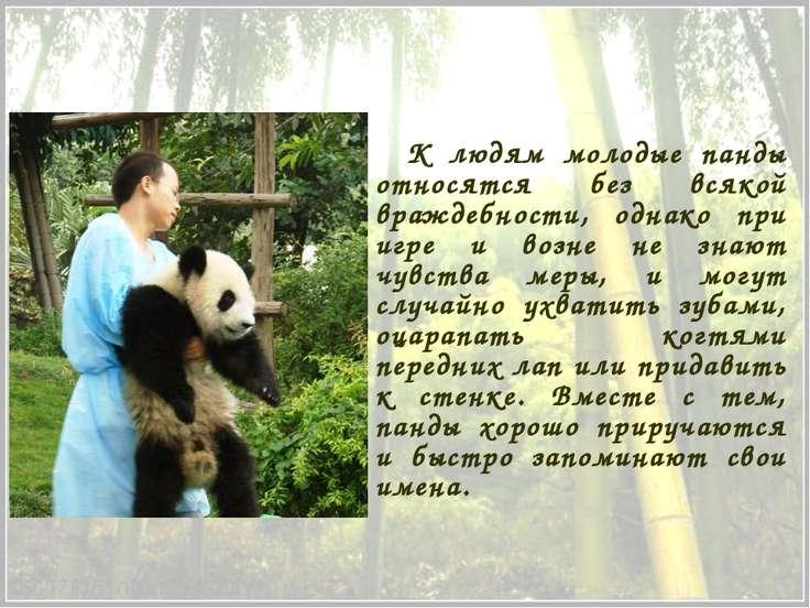 К людям молодые панды относятся без всякой враждебности, однако при игре и во...