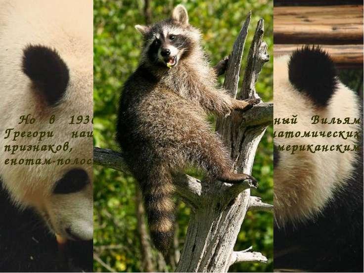 Но в 1936 году американский ученый Вильям Грегори нашел у панды много анатоми...