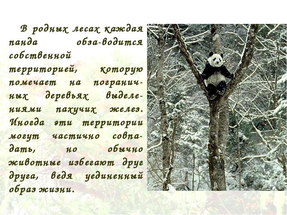 В родных лесах каждая панда обза-водится собственной территорией, которую пом...