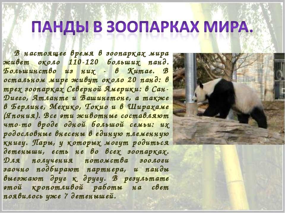 В настоящее время в зоопарках мира живет около 110-120 больших панд. Большинс...