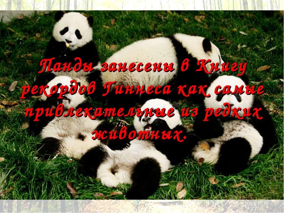 Панды занесены в Книгу рекордов Гиннеса как самые привлекательные из редких ж...