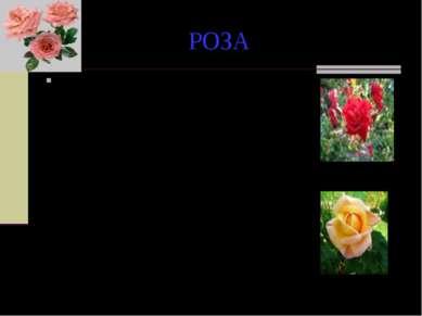 РОЗА По другой легенде, белая роза сделалась красной во время одного из пирше...