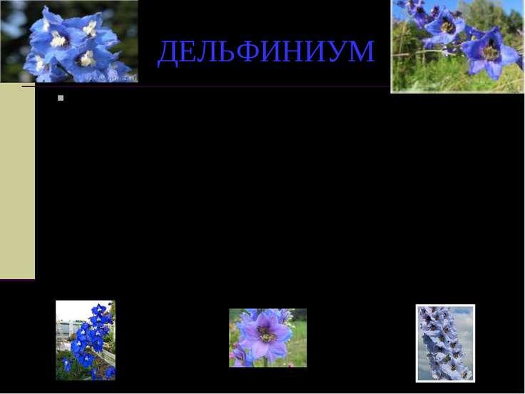 ДЕЛЬФИНИУМ Этот цветок древние греки посвятили юному скульптору, обращенному ...