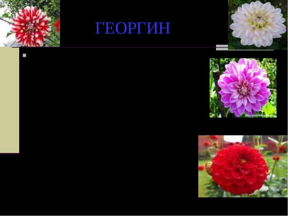 ГЕОРГИН В народе живет легенда, согласно которой этот красивый цветок обязан ...