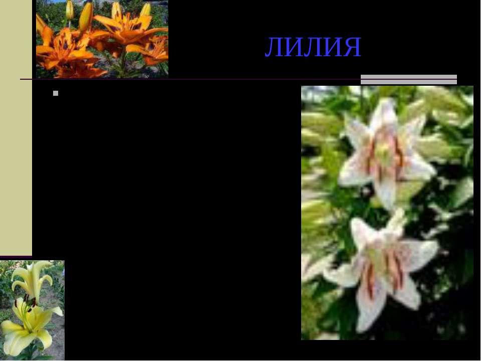 ЛИЛИЯ Рассказывают, что фиванская царица красавица Алкмена, мать Геркулеса, б...