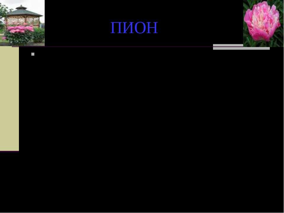 """ПИОН Родовое название образовано от греческого слова """"paionios"""" - целительный..."""