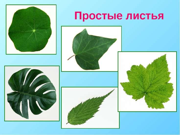 Простые листья