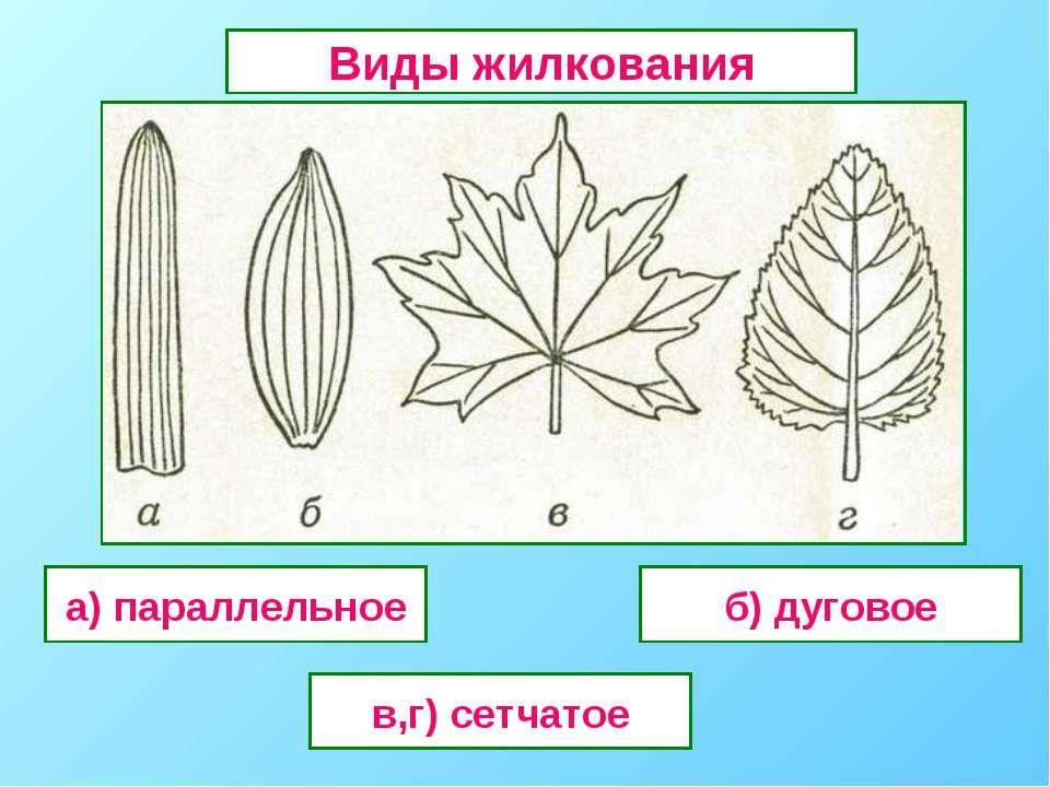 а) параллельное в,г) сетчатое б) дуговое Виды жилкования