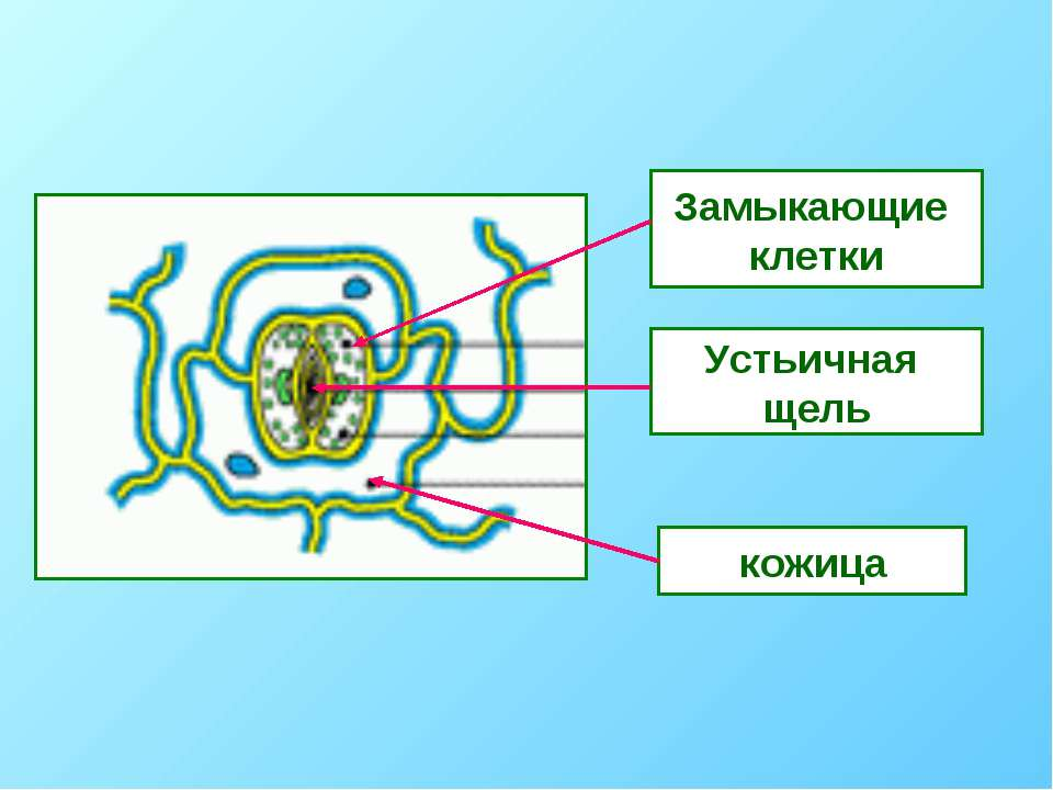 Замыкающие клетки Устьичная щель кожица