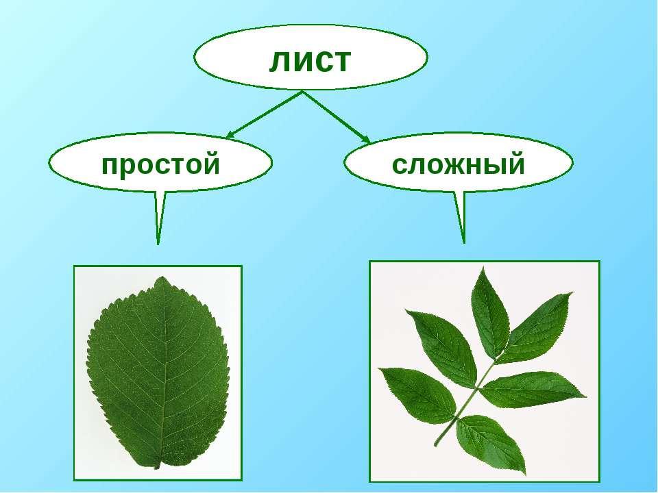 лист простой сложный