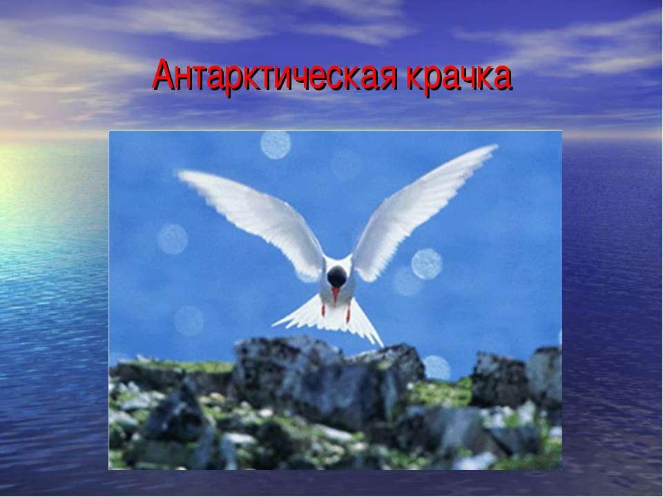 Антарктическая крачка
