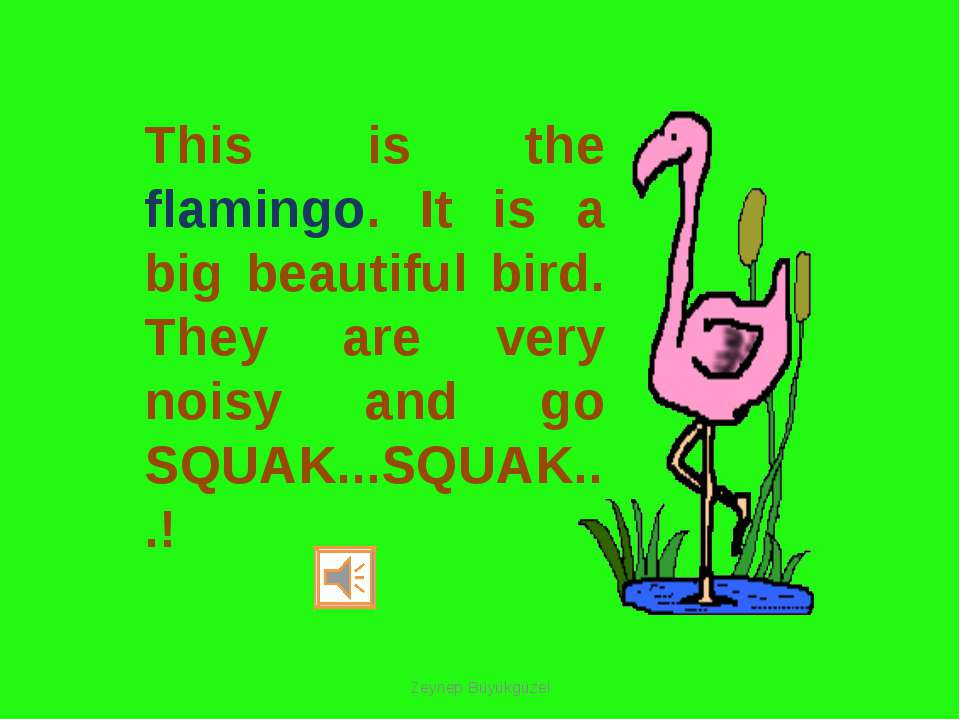 This is the flamingo. It is a big beautiful bird. They are very noisy and go ...
